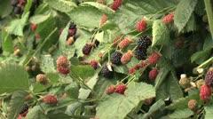 Blackberries / olallieberries on the vine - stock footage