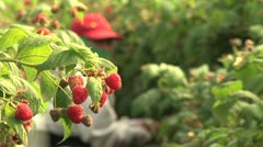 Raspberry harvest Stock Footage