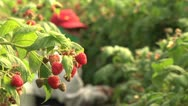Stock Video Footage of Raspberry harvest