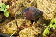 Portrait of a green heron Stock Photos
