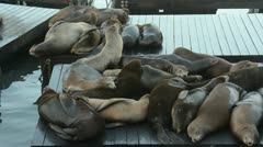 Sea lions on a wooden platform (Zalophus californianus) Stock Footage