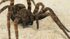 Scary Wolf Spider Stock Footage