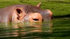 Hippopotamus Close-up - stock footage