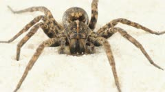 Wolf Spider Crawling Stock Footage