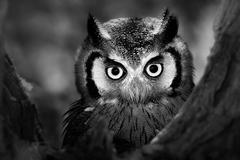whitefaced owl - stock photo