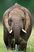 Elephant eating Stock Photos