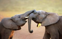 elephants touching each other gently (greeting) - stock photo