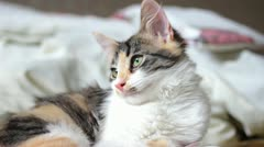 Closeup of Tricolor Kitten - stock footage