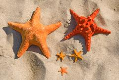 Family of large and small starfish on a sandy beach. Stock Photos