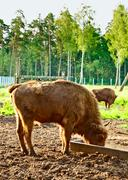 Aurochs in wildlife sanctuary Stock Photos