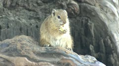 P02151 African Tree Squirrel at Kruger National Park Stock Footage