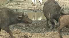 P02152 Cape aka Water Buffalo Herd at Kruger National Park Stock Footage