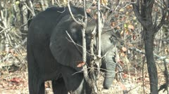P02158 Young Elephant and Mother Stock Footage