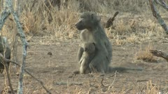 P02162 Mother Baboon with Child Eating Stock Footage
