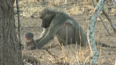 P02163 Mother Baboon and Baby Stock Footage