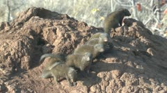 P02165 Dwarf Mongoose Colony at Kruger National Park Stock Footage