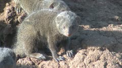 P02166 Dwarf Mongoose Closeup Stock Footage