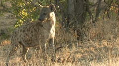 P02171 Hyenas Feeding on Carrion at Kruger National Park Stock Footage