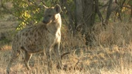 Stock Video Footage of P02171 Hyenas Feeding on Carrion at Kruger National Park