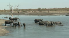 P02182 Elephant Herd in Water at Kruger National Park Stock Footage