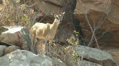 P02184 Klipspringer on Rock at Kruger National Park Stock Footage