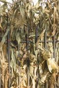 Stock Photo of Corn Husks on Wrought Iron Fence at Harvest Market
