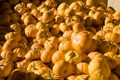 Stock Photo of Pile of Tiny Pumpkins at Fall Harvest Market
