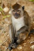 Stock Photo of macaque monkey