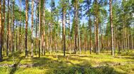 Stock Photo of pine forest