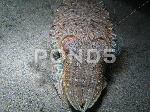 Stock photo of Cuttlefish