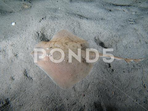 Stock photo of Thornback Ray