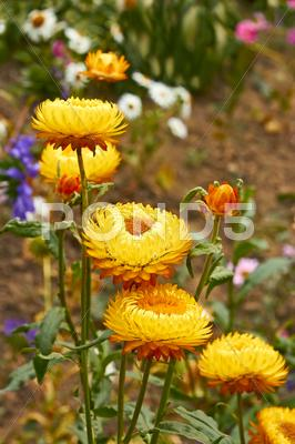 Stock photo of helichrysum (everlasting ) flowers on flowerbed