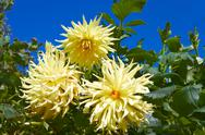 Three yellow dahlias in the flowerbed Stock Photos