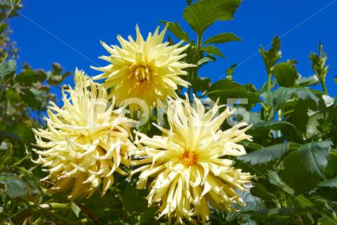 Stock photo of three yellow dahlias in the flowerbed