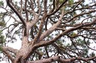 Gnarly pine tree branches Stock Photos