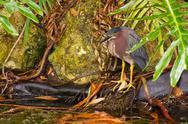 Green heron standing at water edge Stock Photos