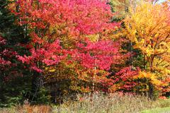 Maples in the fall - stock photo