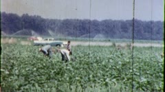 FARM WORKERS Mexican Agriculture Farm Labor 1960s (Vintage Film Home Movie) 4493 Stock Footage