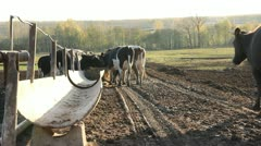 Cowshed. Cows on the Farm - stock footage