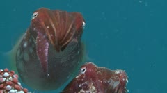 Close of a Cuttlefish feeding - stock footage