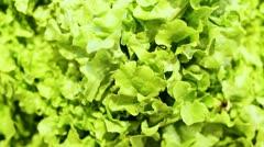 Top view on butterhead lettuce Stock Footage