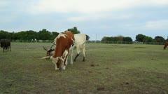 Texas Longhorns Stock Footage