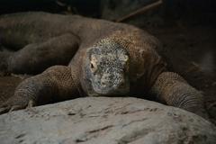 Stock Photo of komodo monitor lizard