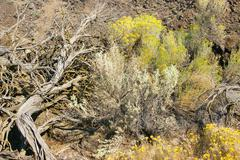 yellow desert shrubs - stock photo