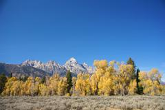 Grand teton with autumn golden aspens Stock Photos