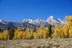 grand teton with autumn golden aspens - stock photo