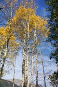 autumn, golden aspens and crisp blue sky - stock photo