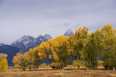 Grand tetons with autumn golden aspens Stock Photos