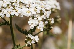 Stock Photo of Macro - White flower bunch in the Rocky Mountains in the summer bloom