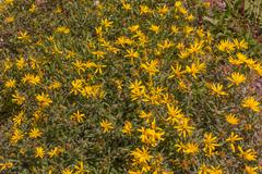 Heart-leaved Arnica - Arnica cordifolia in the Colorado Rockies Stock Photos